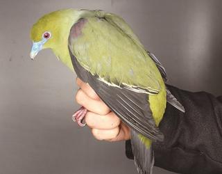 南涧首次发现国内新记录鸟种白腹针尾绿鸠